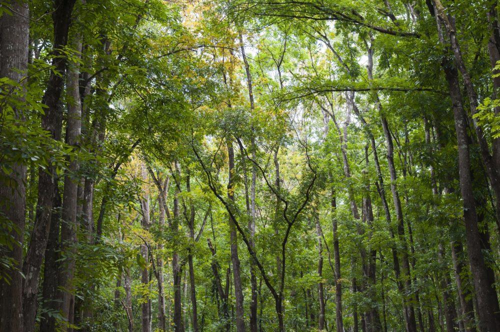 Mahagoni Wald